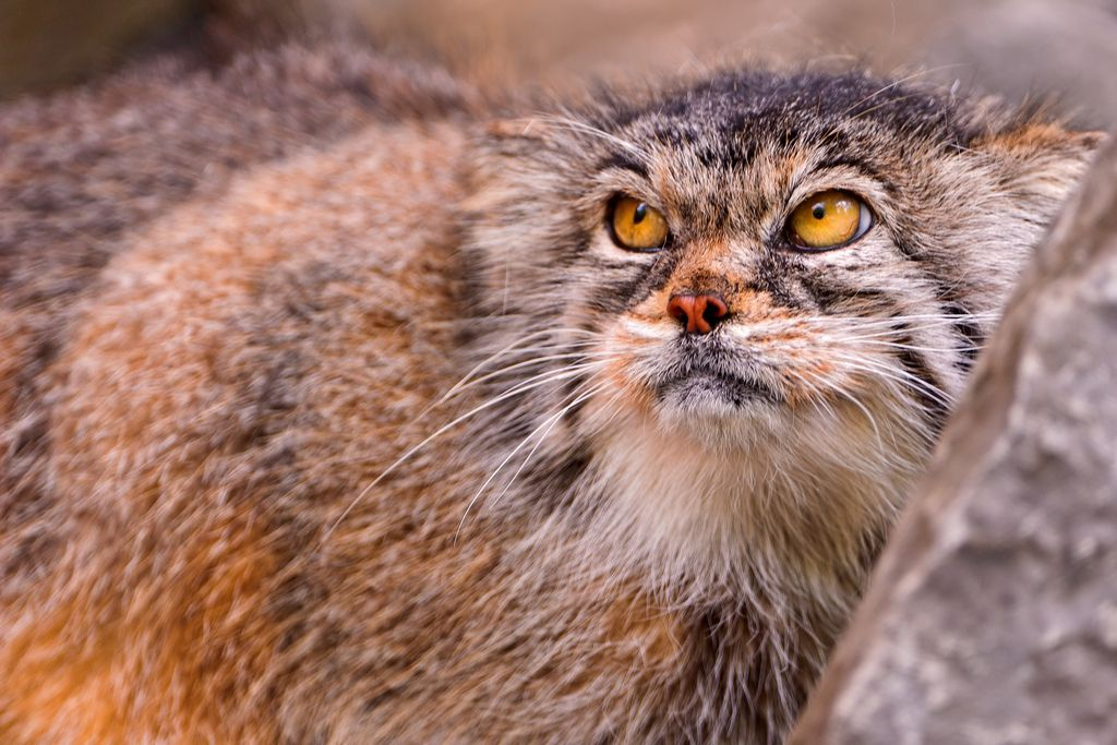 angry Pallas' cat
