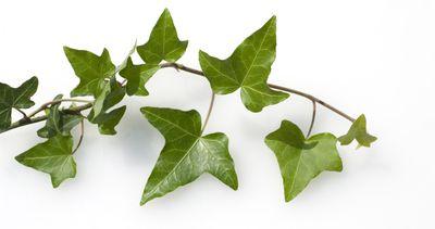 English ivy on white background
