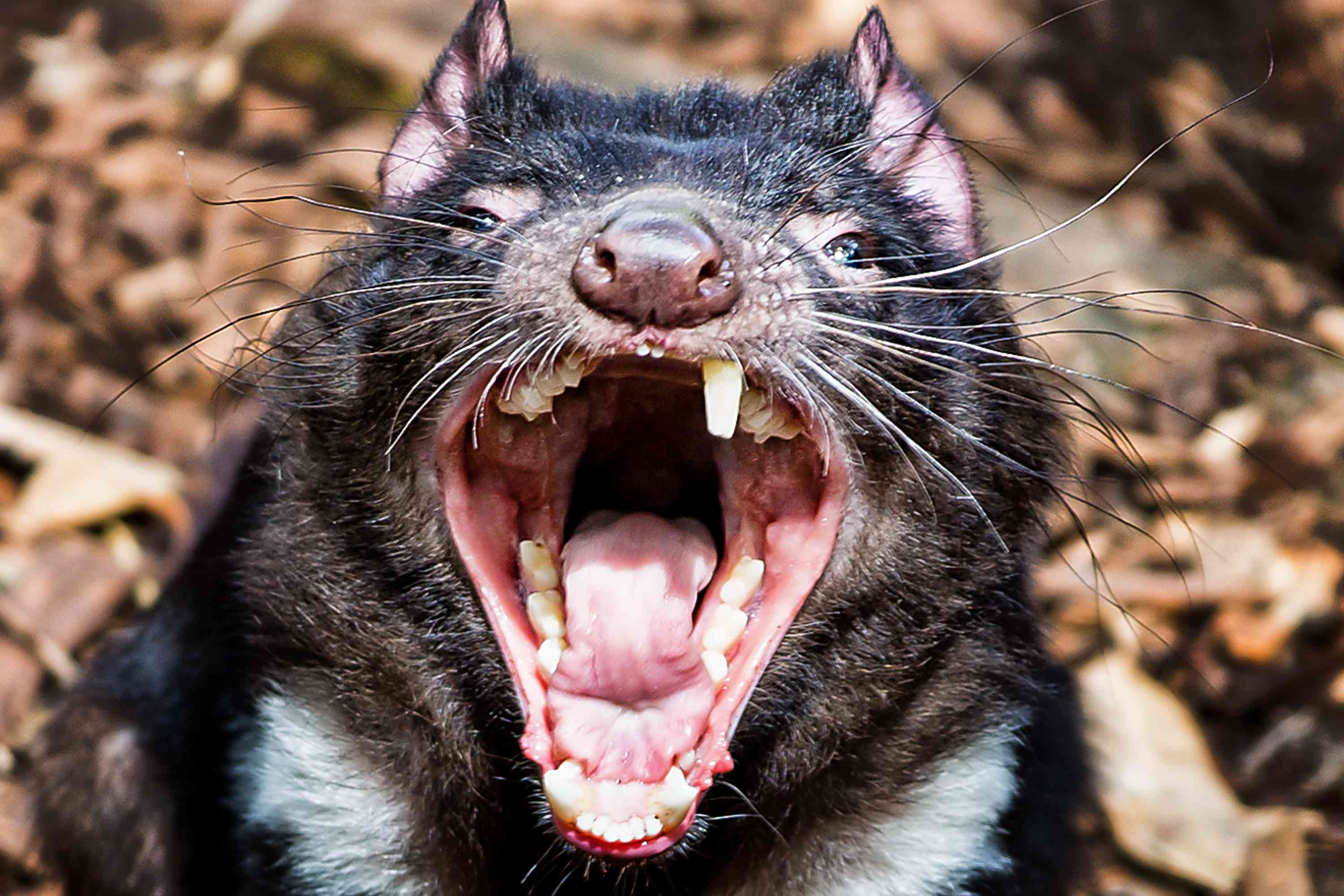 A tasmanian devil with open mouth bares its teeth.