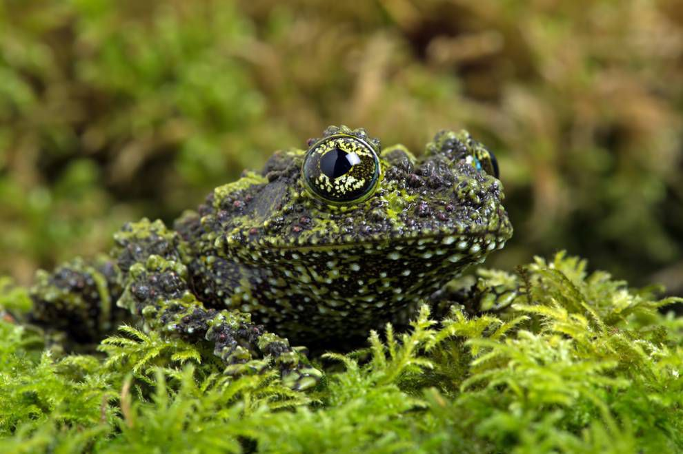 A mossy frog covered in bumps hides in a bed of moss