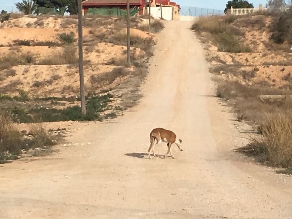 A galgo stands in the middle of a dirt road in Spain.