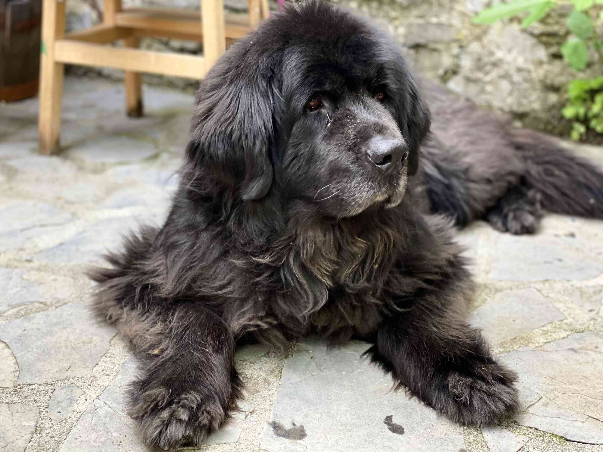 Black Newfoundland dog on the ground with its front paws outstretched