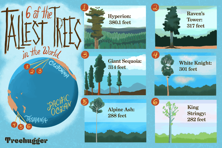 6 tallest trees in the world revised April 2021 illustration