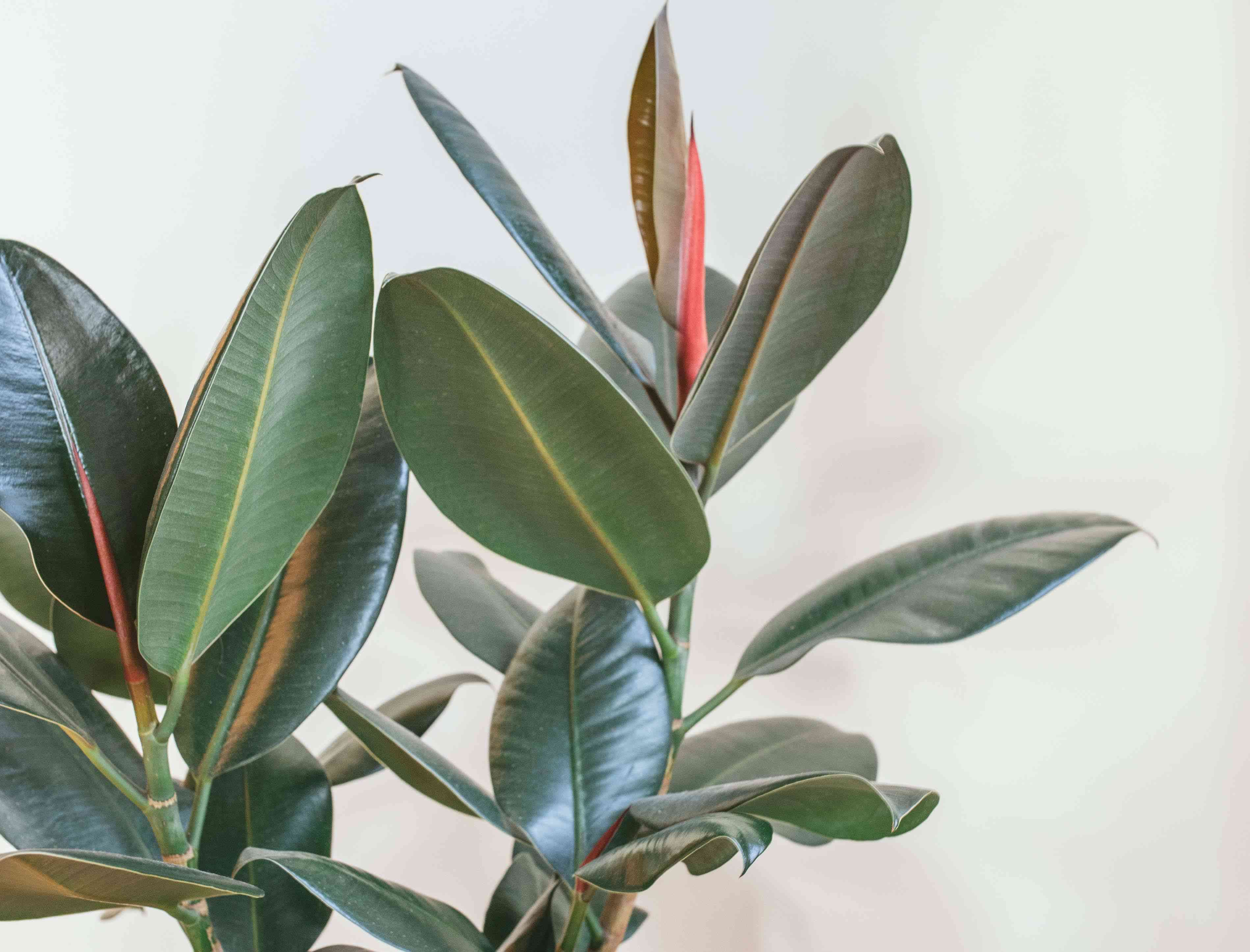shiny bright green rubber plant against matte white wall