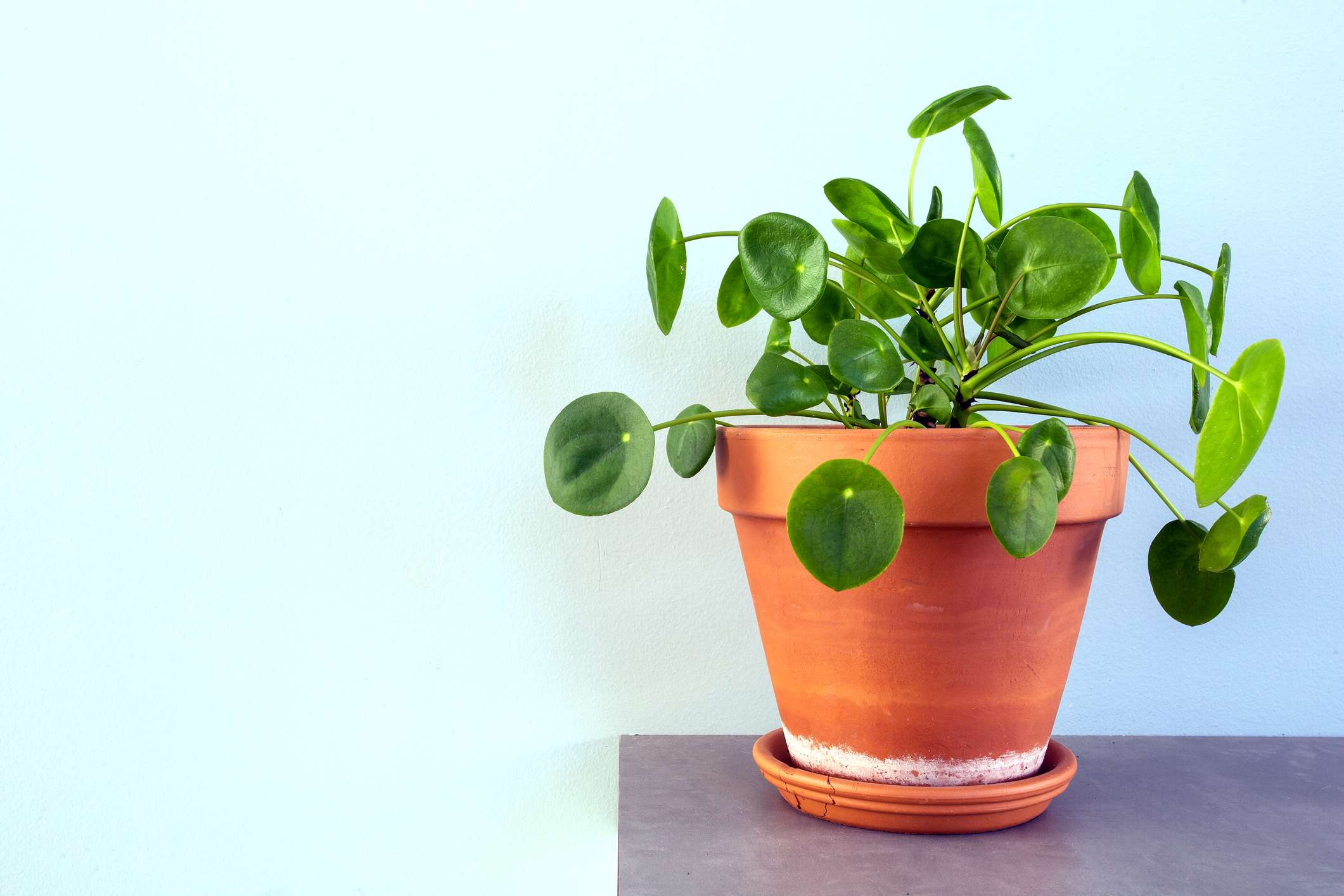 pilea peperomioides, Chinese Money Plant, Ufo Plant or Pancake plant in retro modern design home decoration