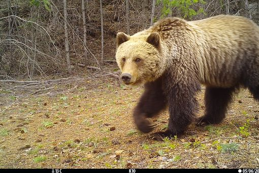 Grizzly bear caught on camera trap