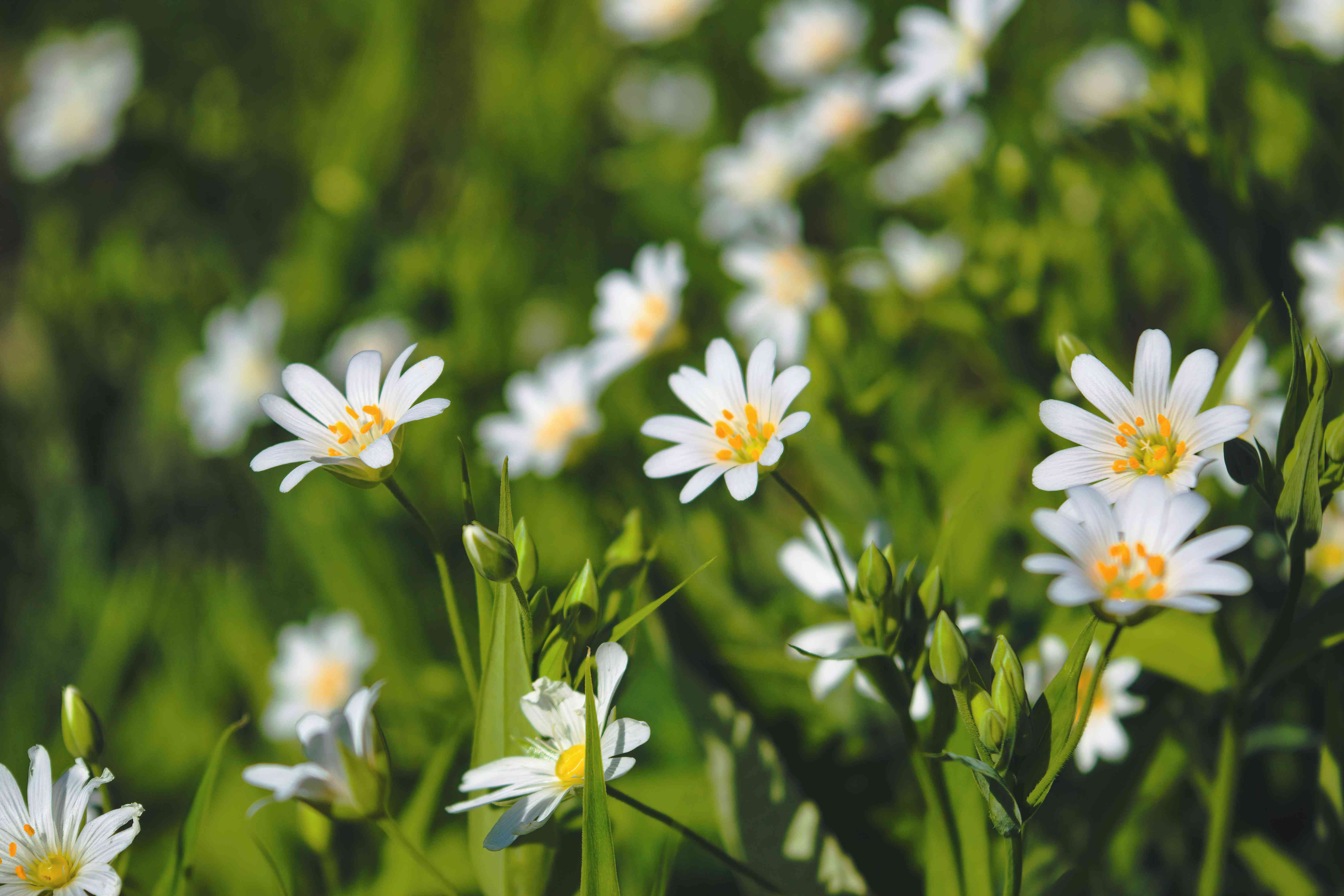 Close-up of chickweed in the soft spring sun