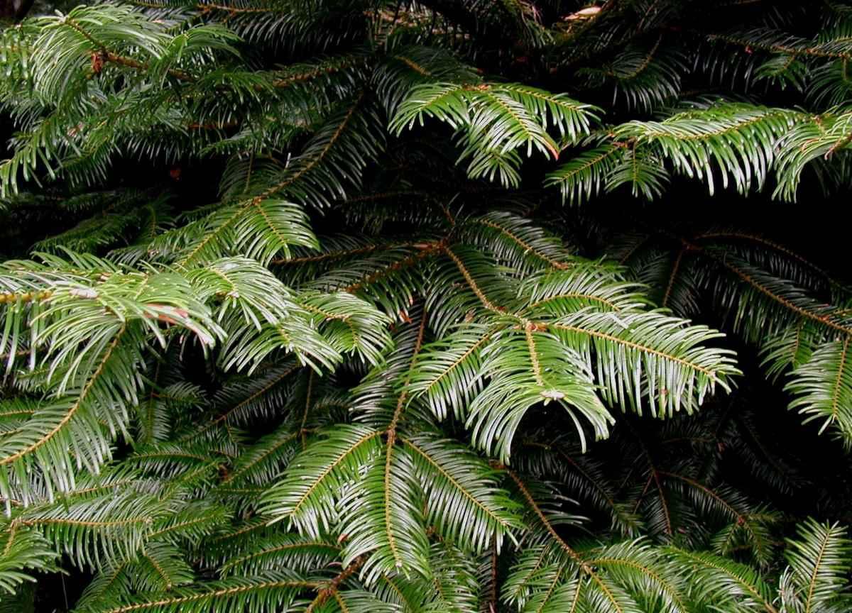 Grand fir tree branches