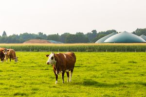 Cows in front of a biogas plant