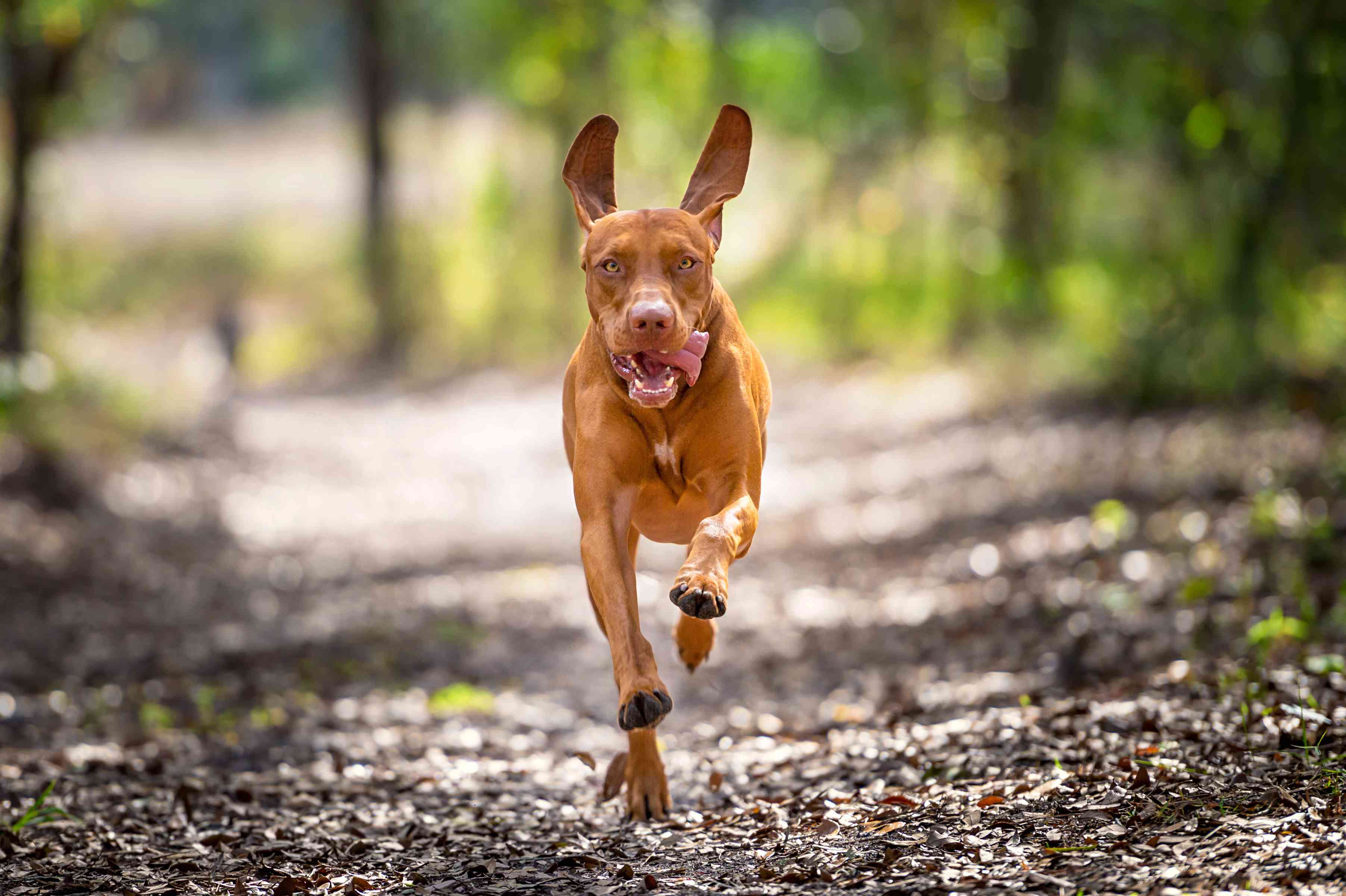 Vizsla dog with its ears erect and its tongue hanging out to the side running through a forest