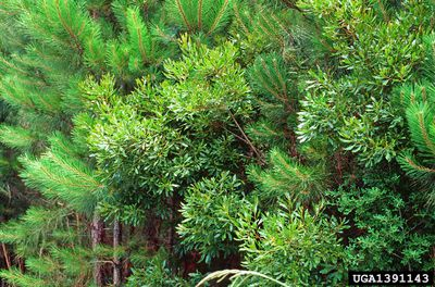 southern waxmyrtle tree