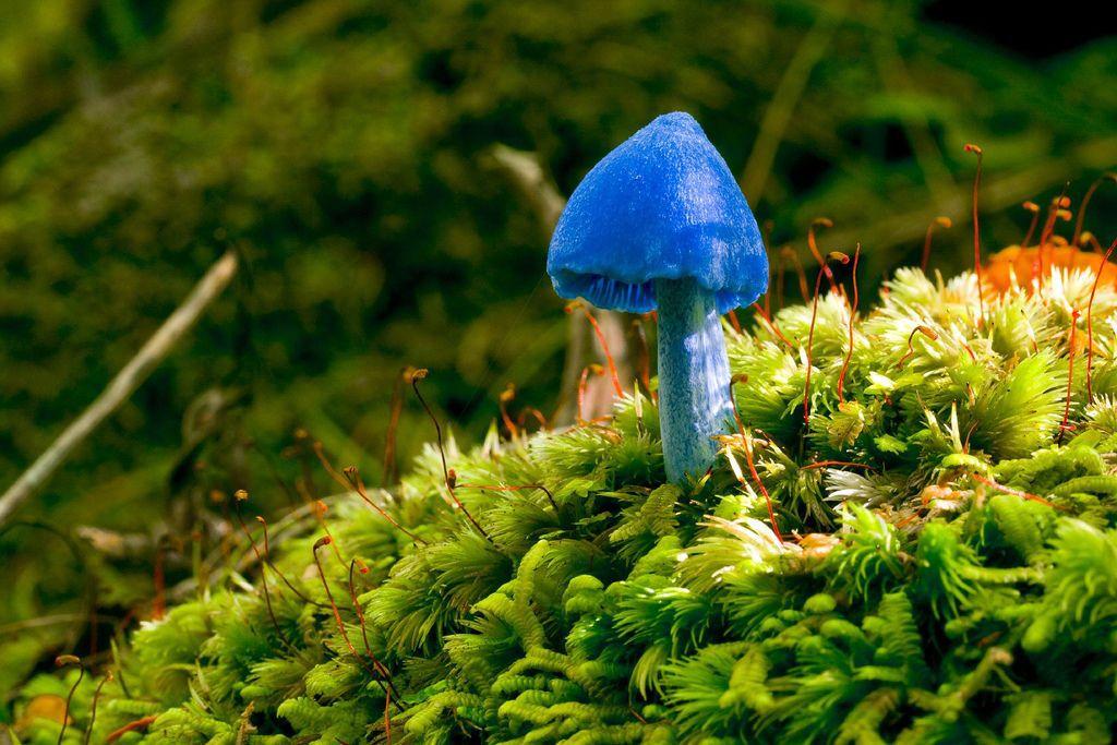 Bright blue mushroom on mossy ground