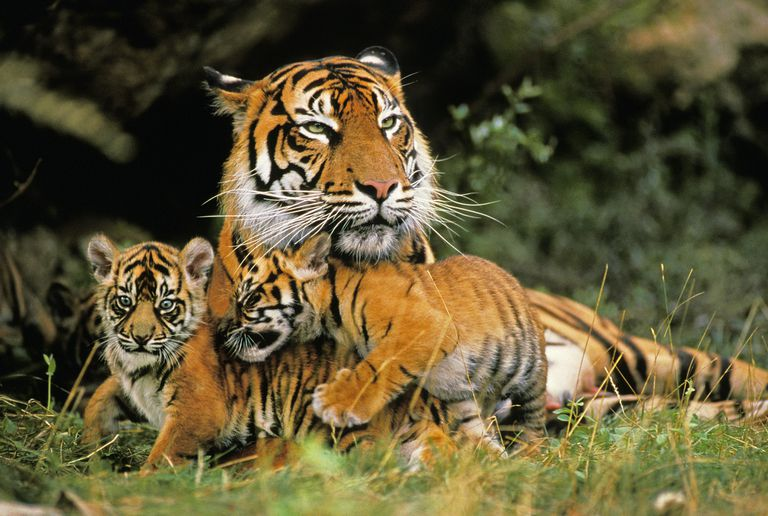 An adult tiger playing with cubs in the grass.