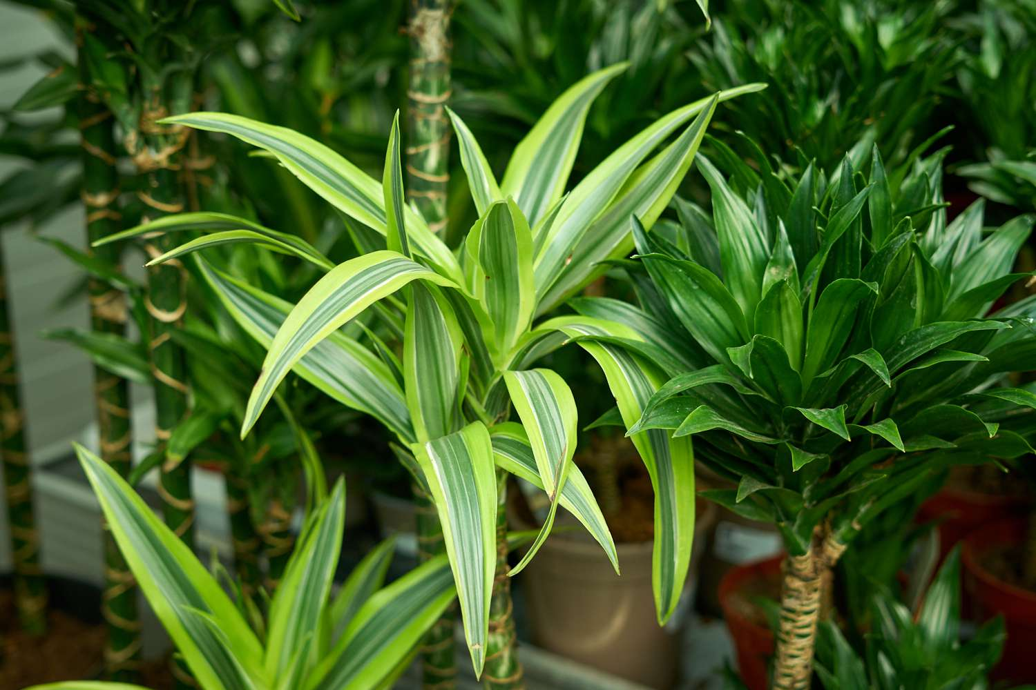 lime green-striped corn plant leaves with thick trunks crowded together outside