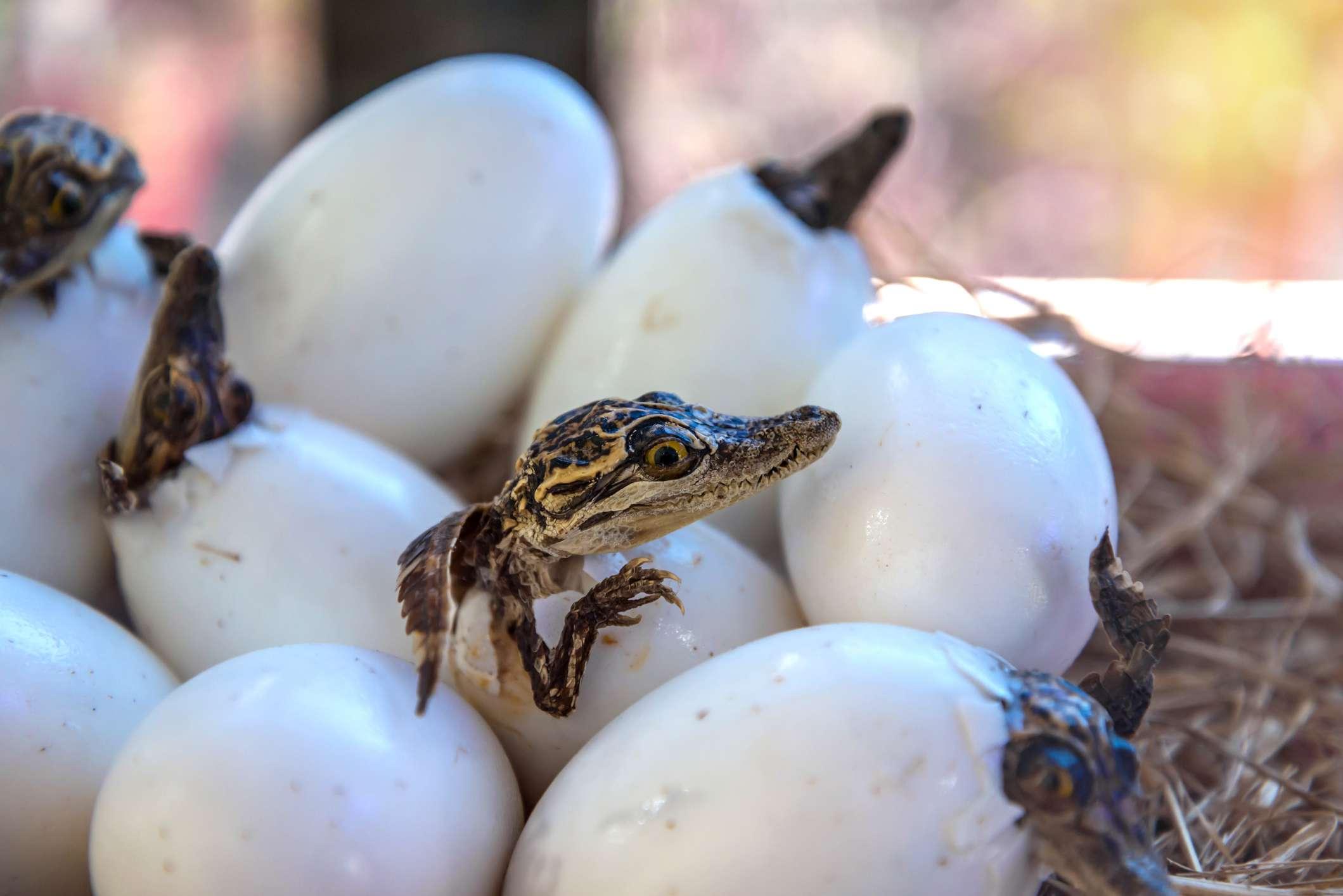 Alligator eggs hatching