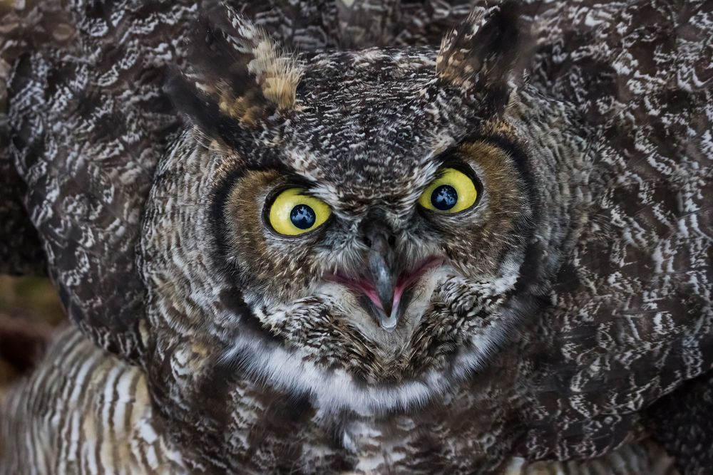 With its call, the great horned owl asks a question for all insomniacs.