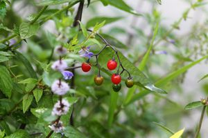 Deadly nightshade plant with berries and flowers