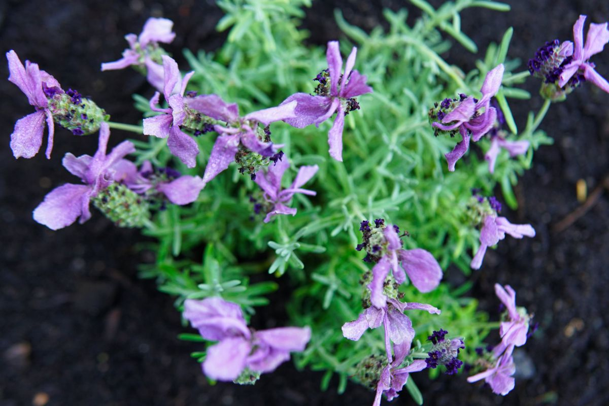 overhead shot of rosemary herb with purple flowers