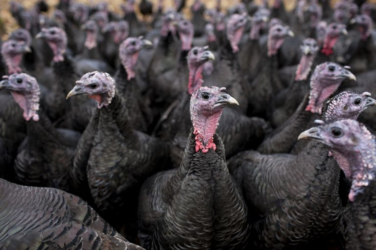 Bronze free-range turkeys
