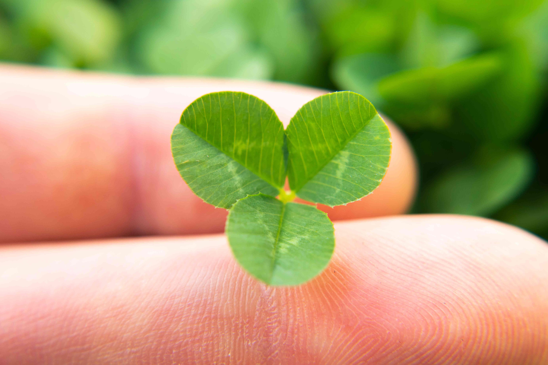 closeup hand holds small clover