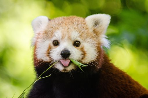 Red panda in wild gazes into camera while munching on plant