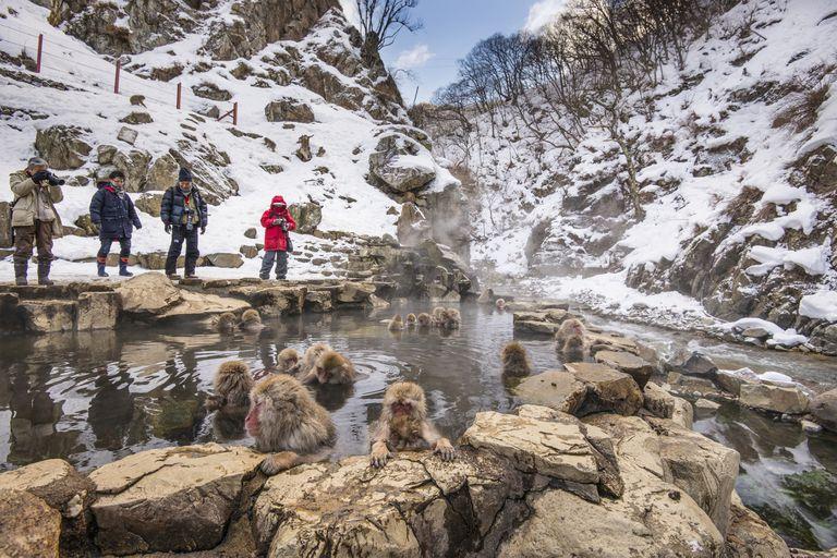 Cómo pasar el rato con monos de nieve salvajes