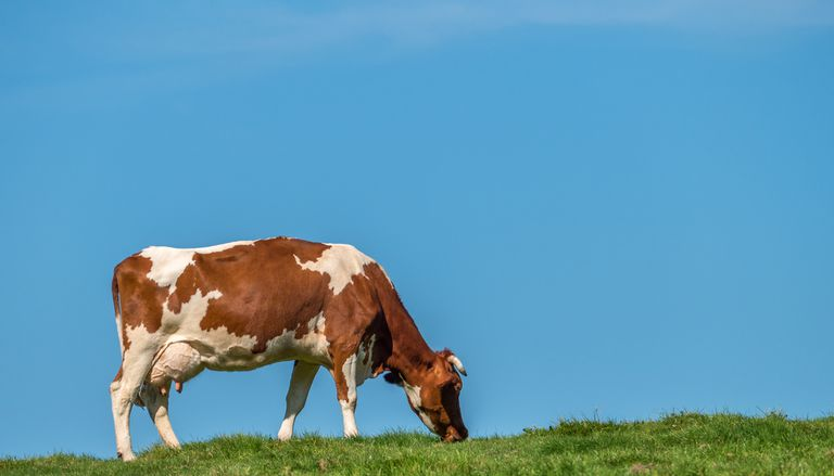 Por qué debería preocuparse por la hierba que comen las vacas