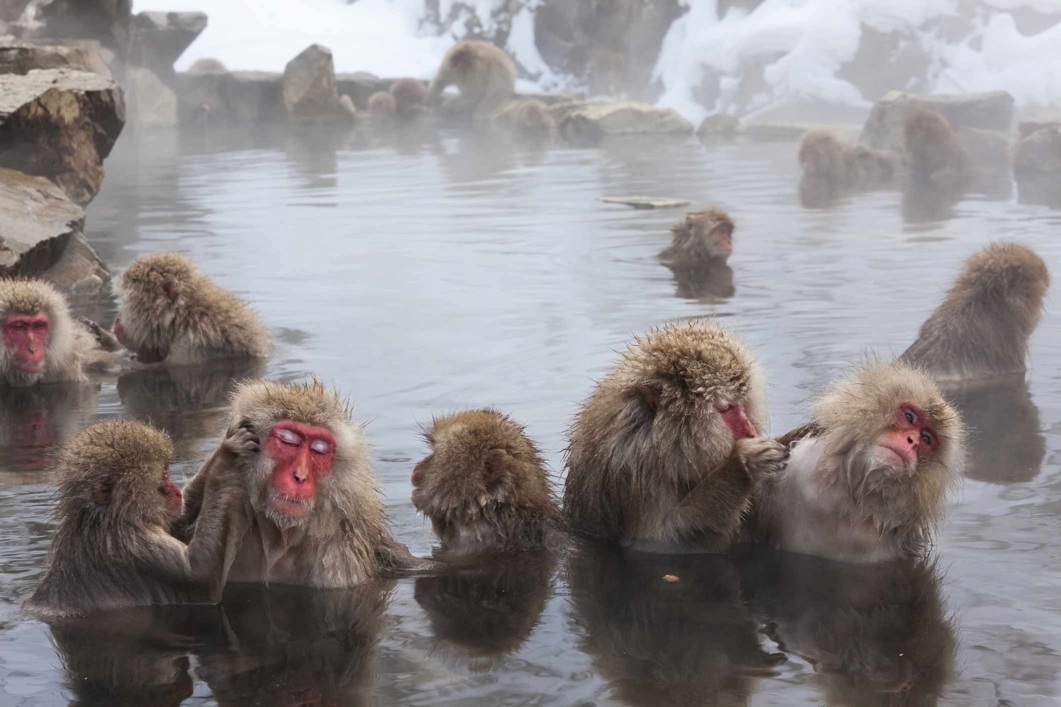Japanese macaques in a large warm pond surrounded by snow