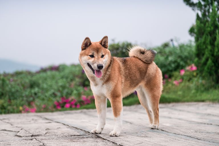 shiba inu dog stands on pavement in front of garden, looking down