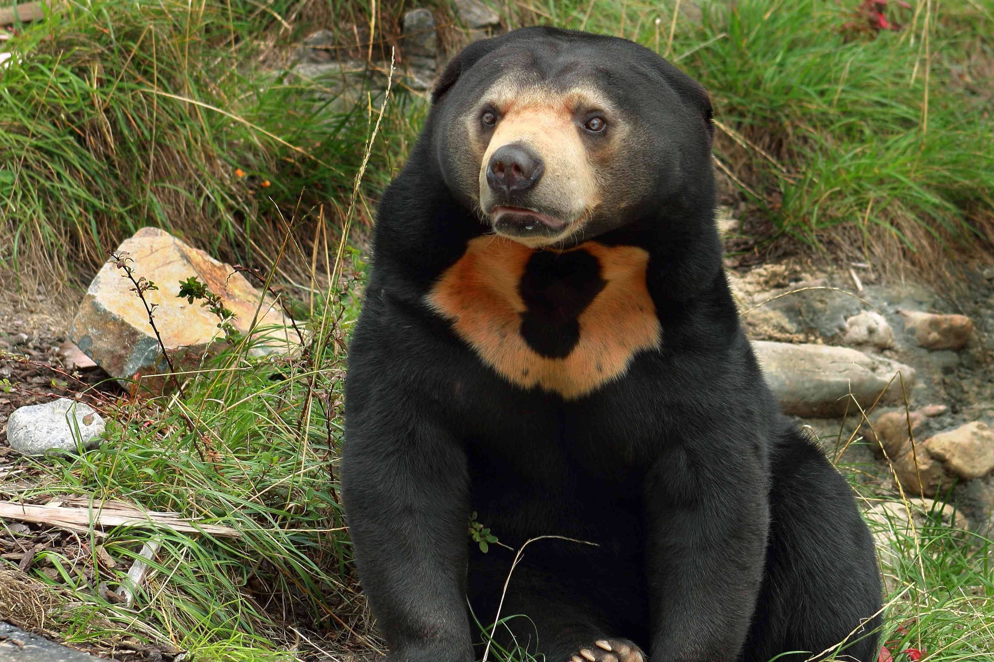 black sun bear showing off chest markings, a black circle in tan patch that looks like a sun