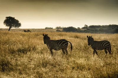Two Burchell's Zebras in morning light Two