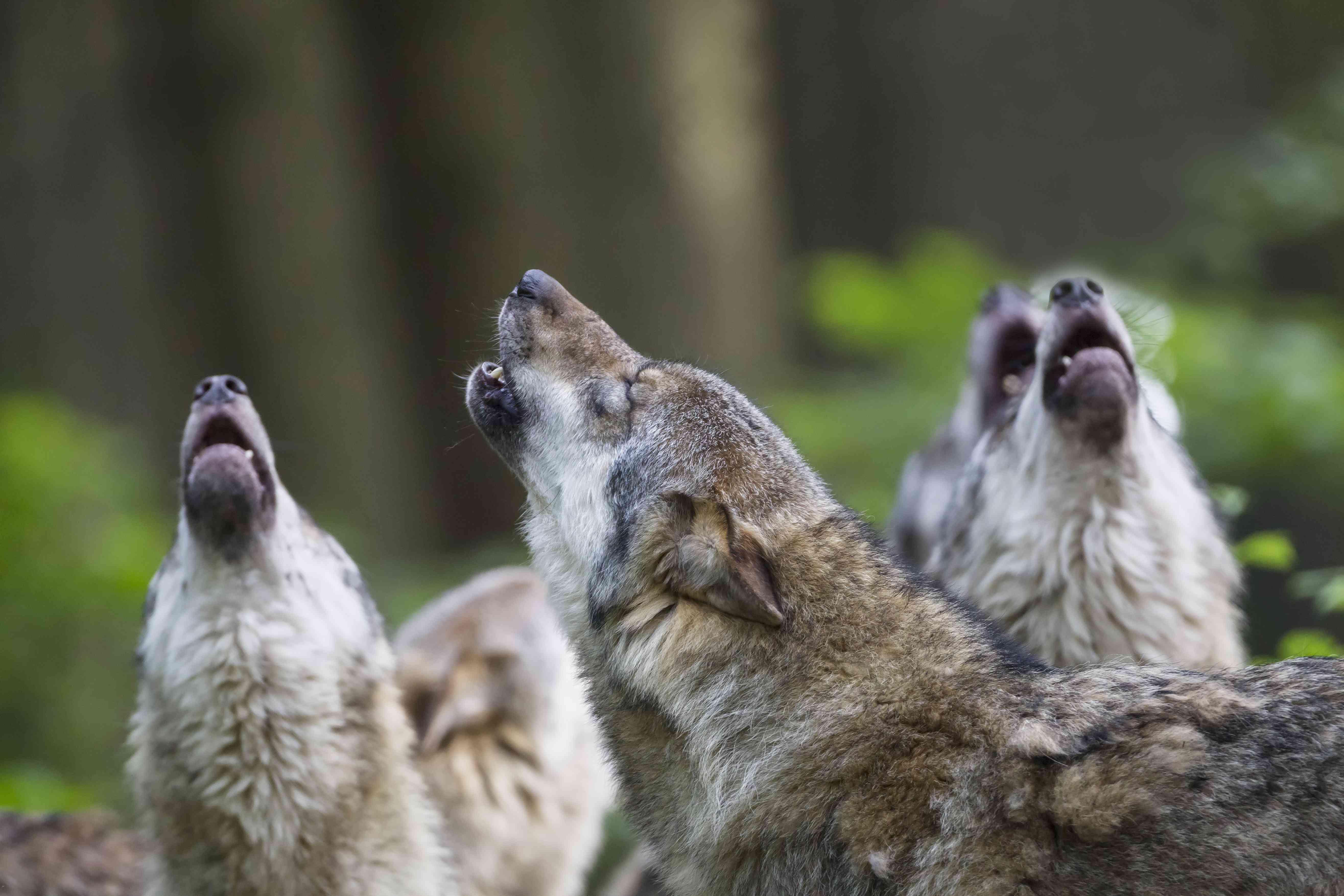 Germany, Bavaria, Howling gray wolfs