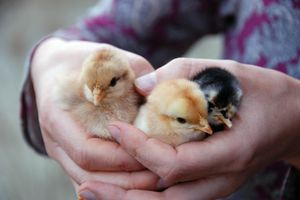 A woman holding three baby chicks.