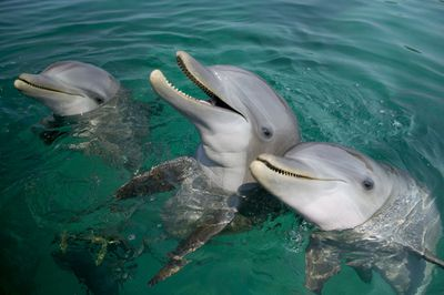 Three bottlenose dolphins near the surface of the water