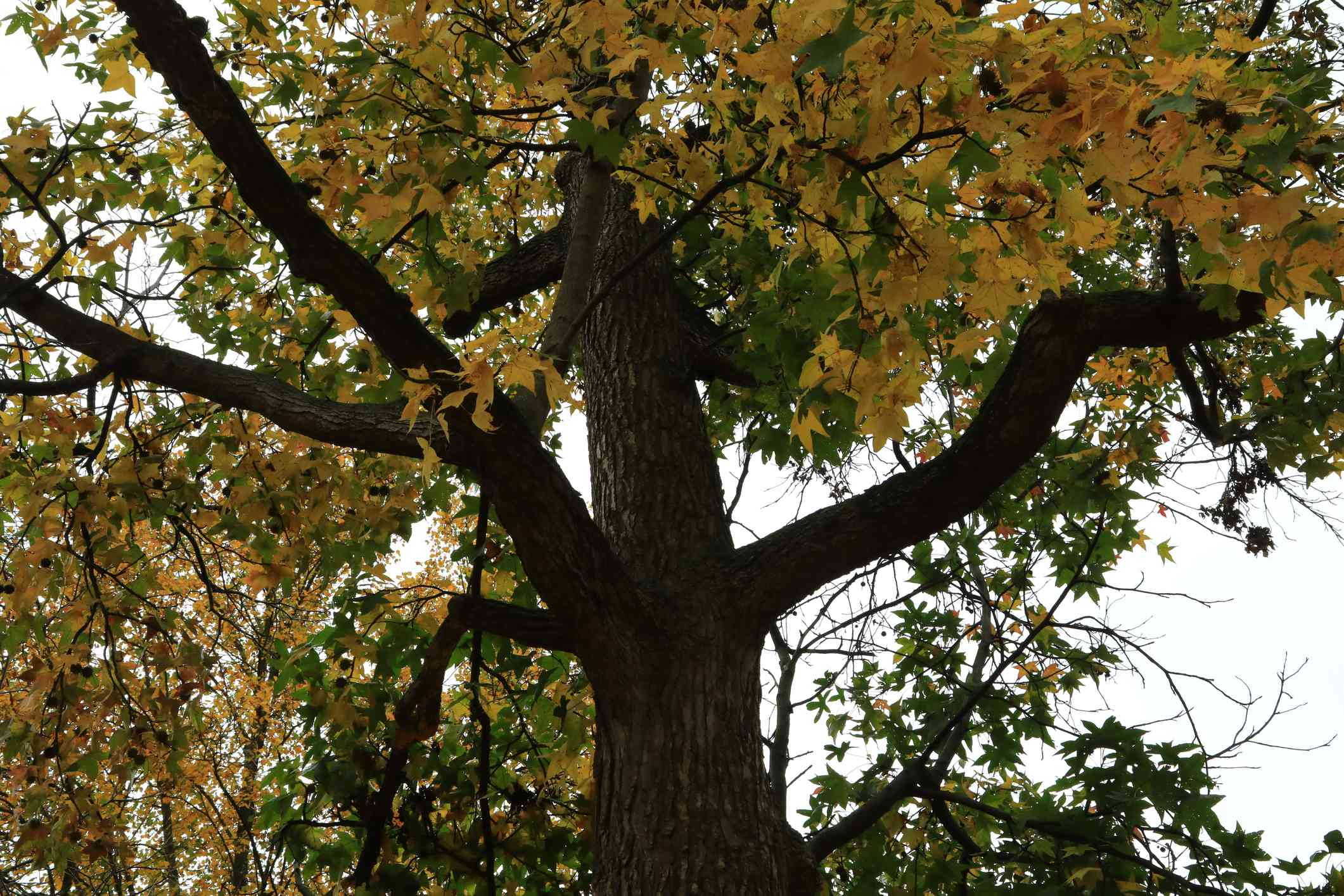 American sweetgum with yellow and green flowers and brown trunk from below