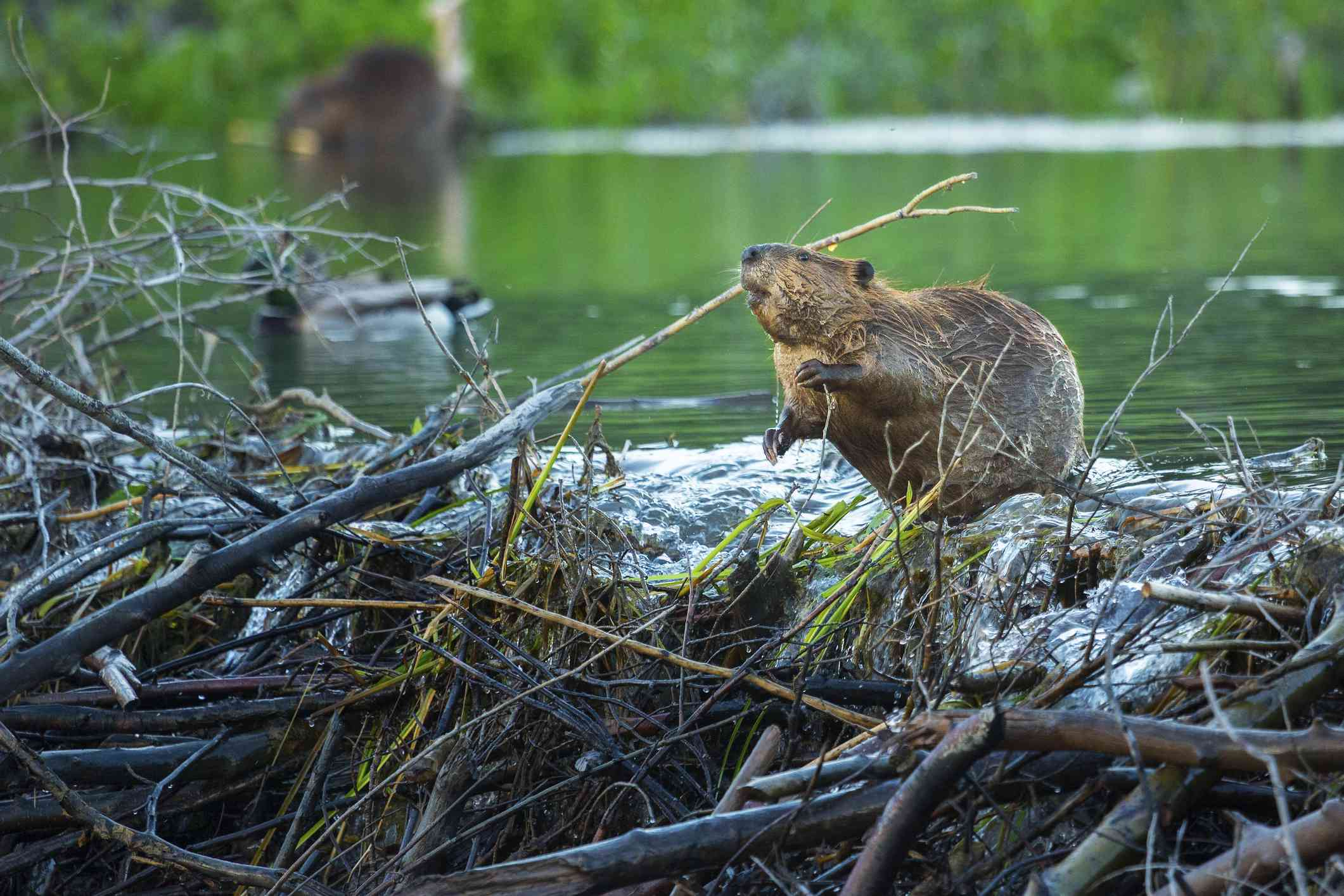 a beaver standing in the water near its dam