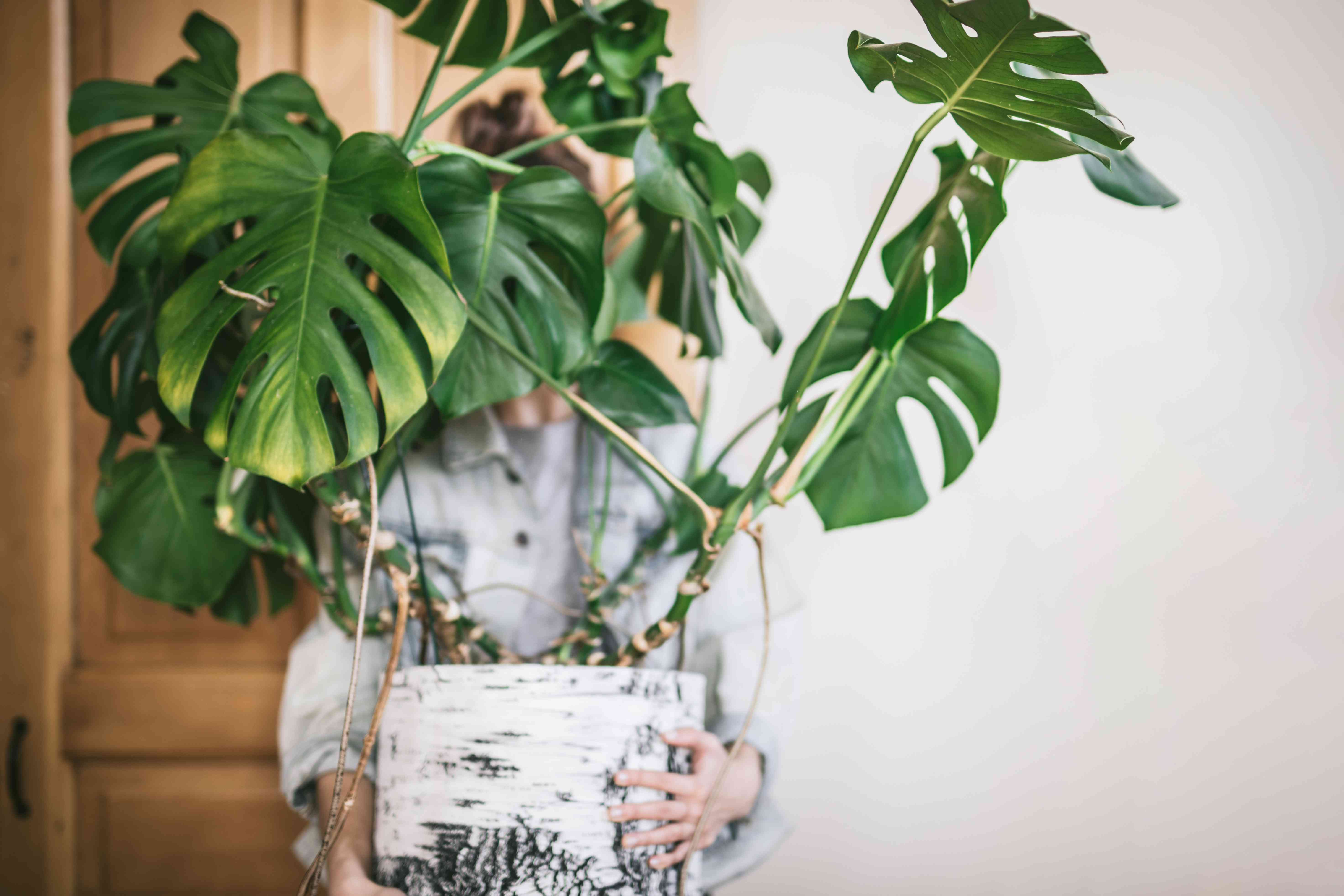 woman holds giant monstera swiss cheese plant in front of wooden door