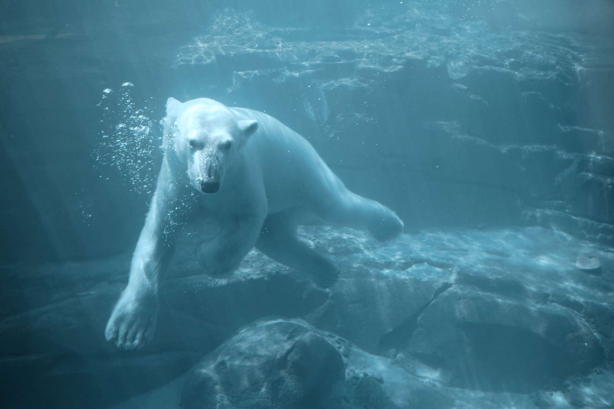 large white polar bear swims underwater among rocks and cliffs