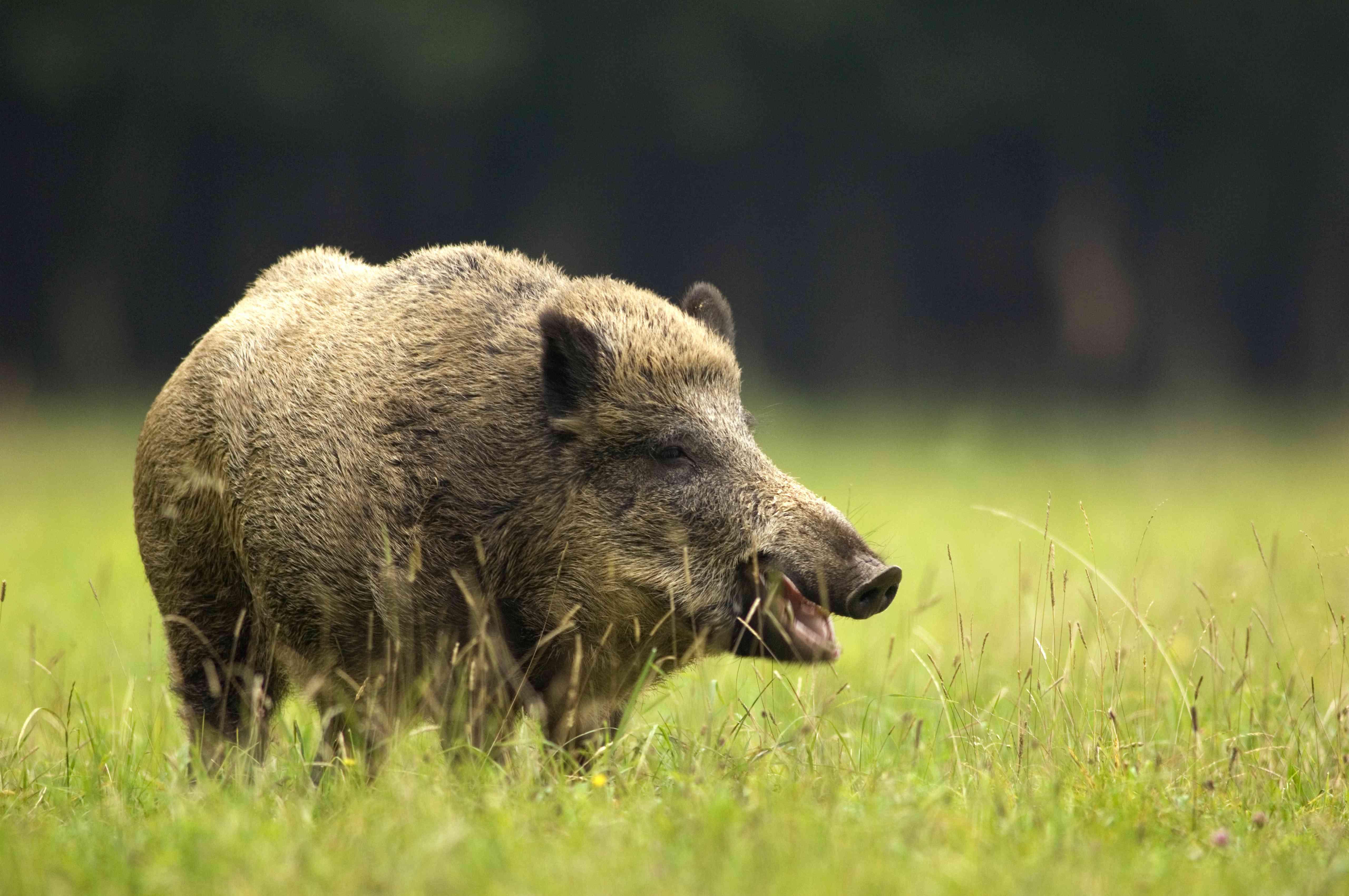 Wild boar (Sus scorfa) in grass