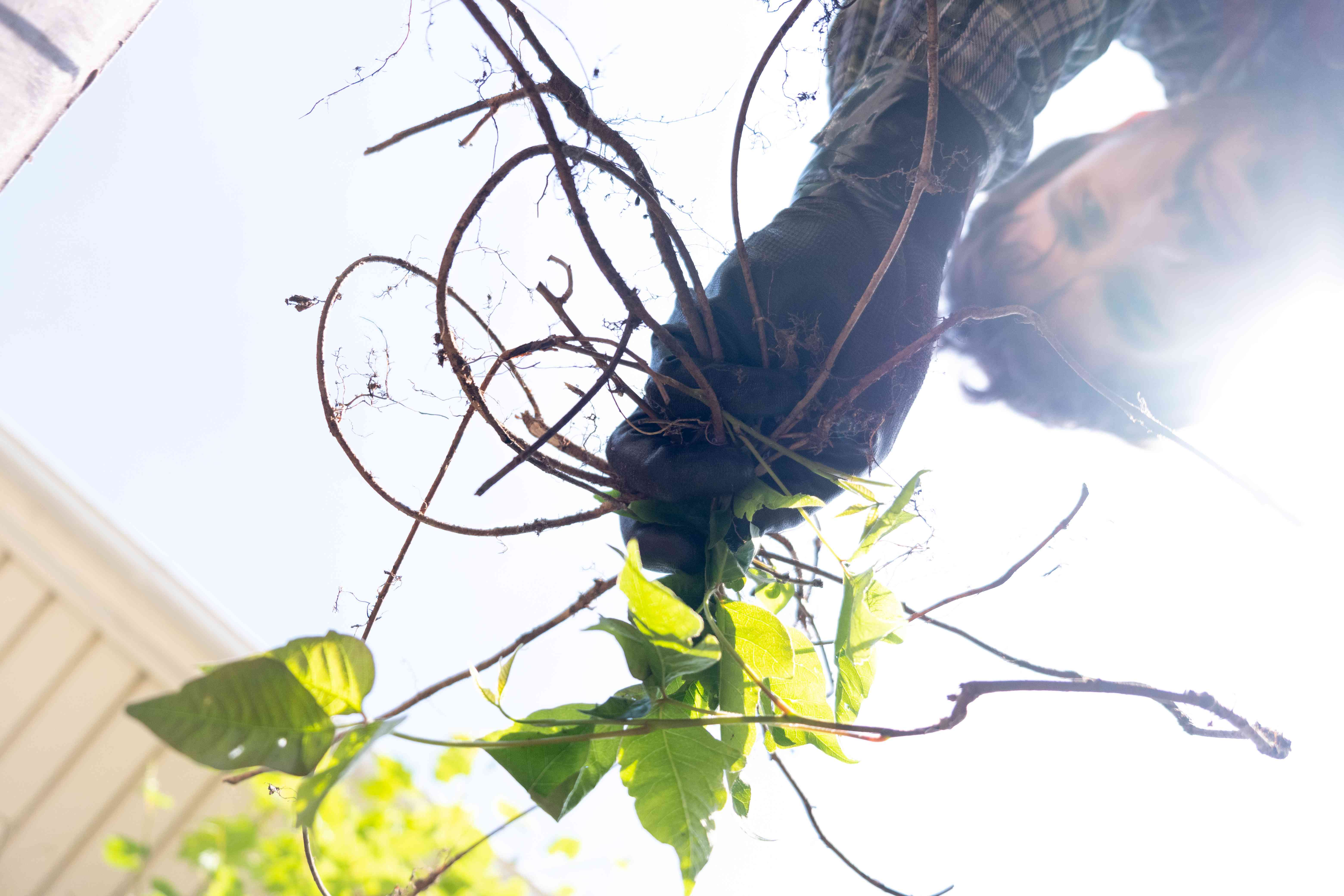 man shows off roots from just-pulled-out poison ivy plant with sun glare