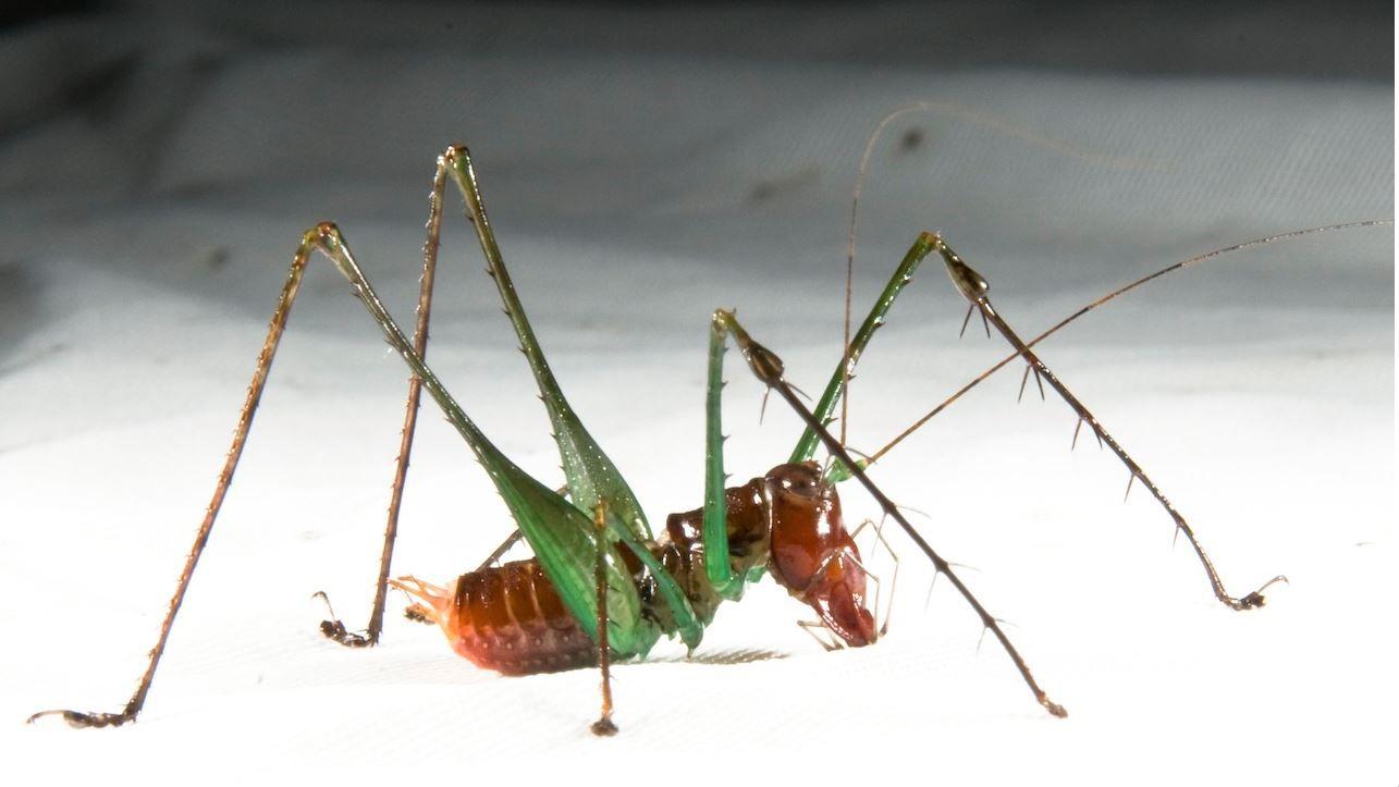 A male Arachnoscelis arachnoides seen in lateral view.