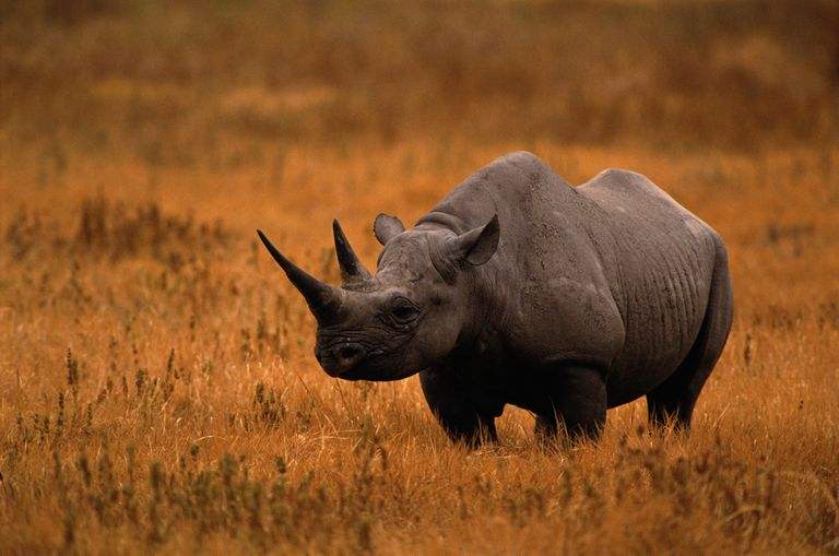 BLACK RHINOCEROUS IN OPEN FIELD