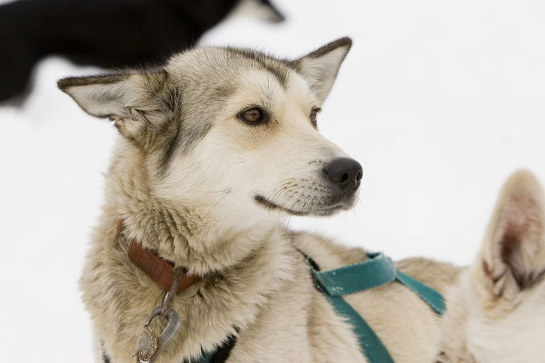 Sled dog close up