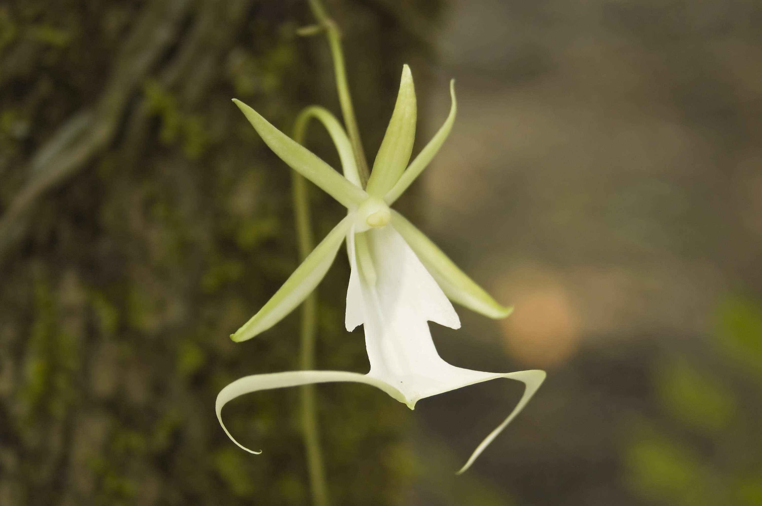 ghost orchid, Dendrophylax lindenii, at Fakahatchee Strand