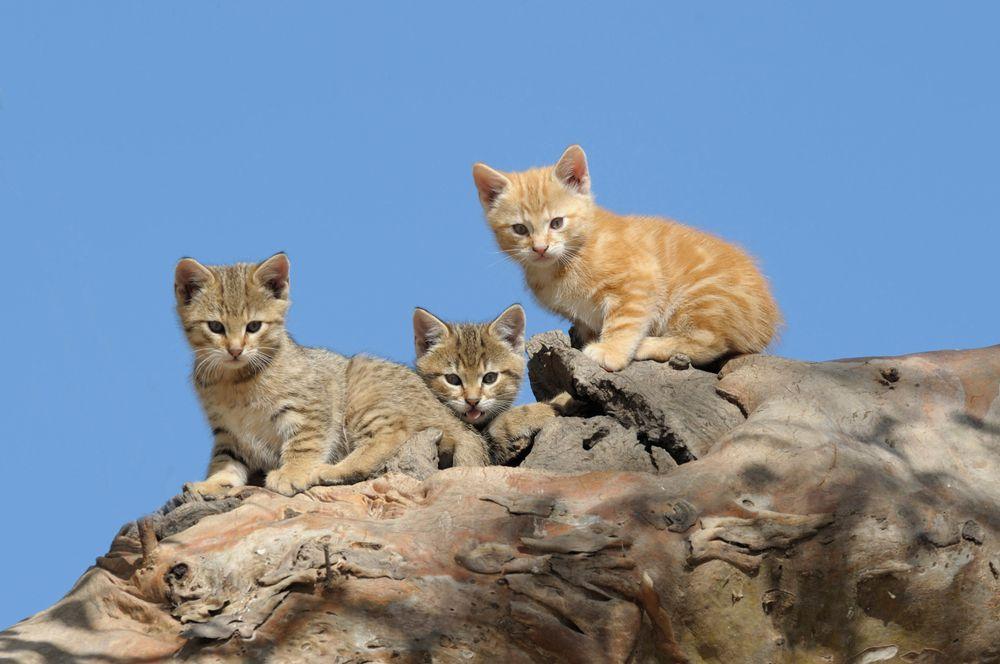 feral kittens in Australia