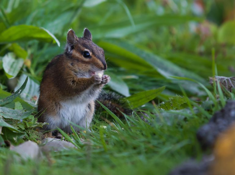 Close up of a chipmunk in the grass