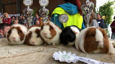 Winners at a guinea pig show in Germany