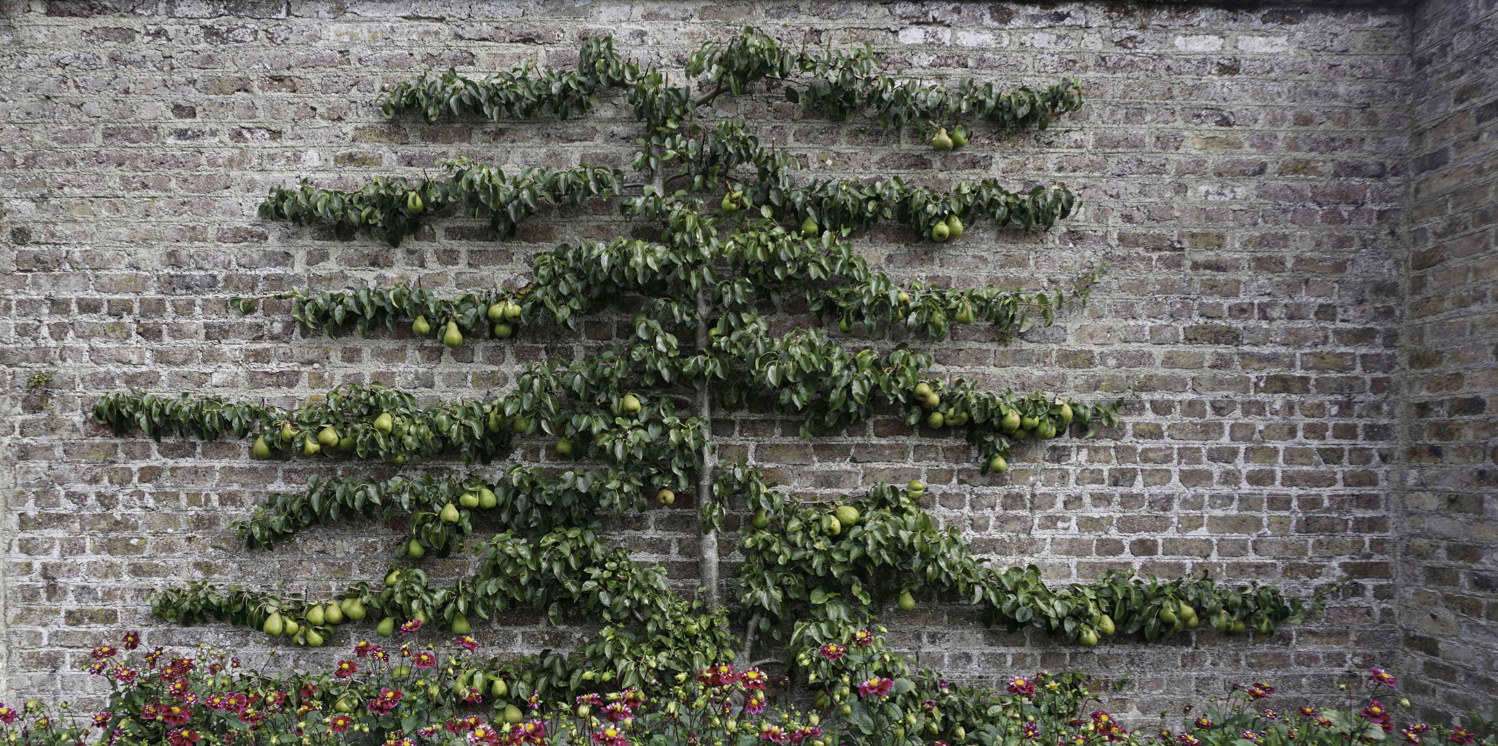 A pear fruit tree trained in the espalier way grown against a brick wall.