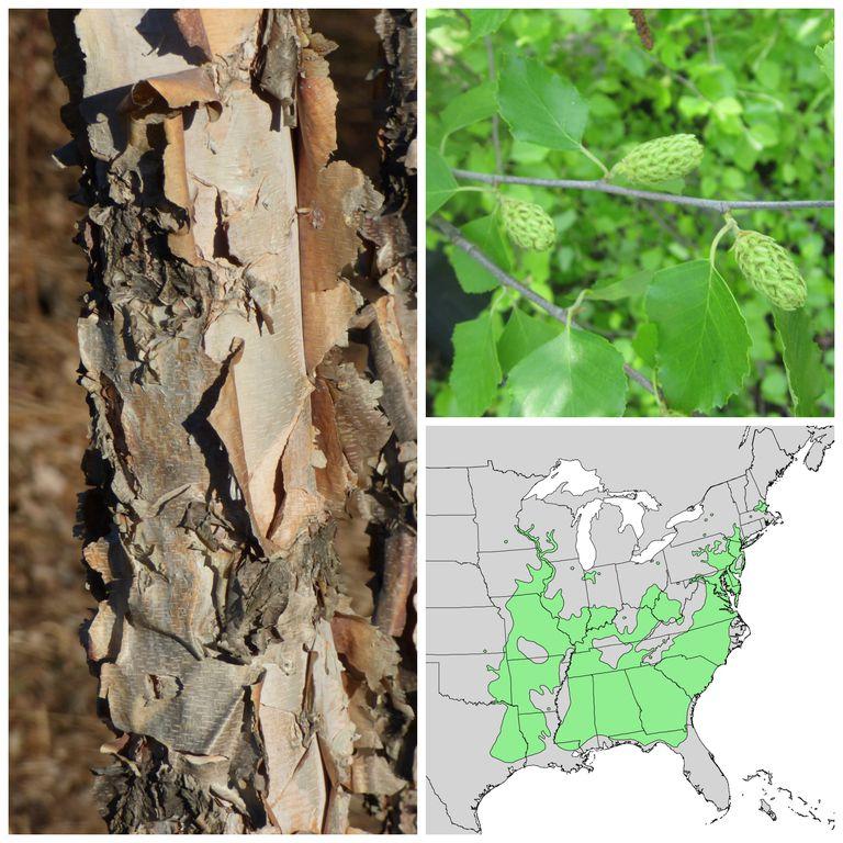 Birch bark, leaves, fruit and range