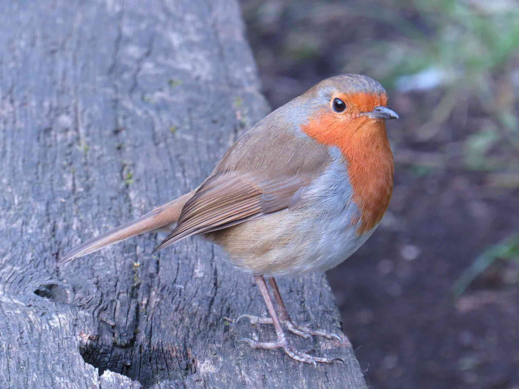 European robin perched on a piece of wood